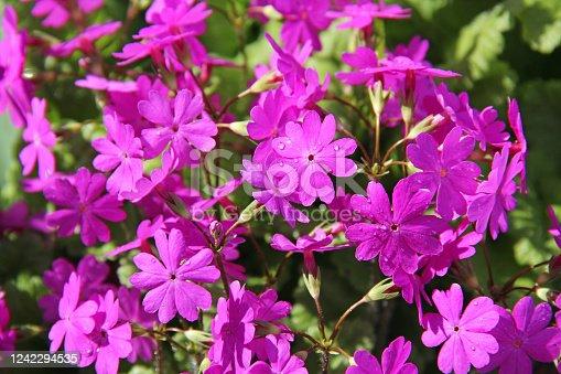 Beautiful spring pink flowers Primula sieboldii. Russia.
