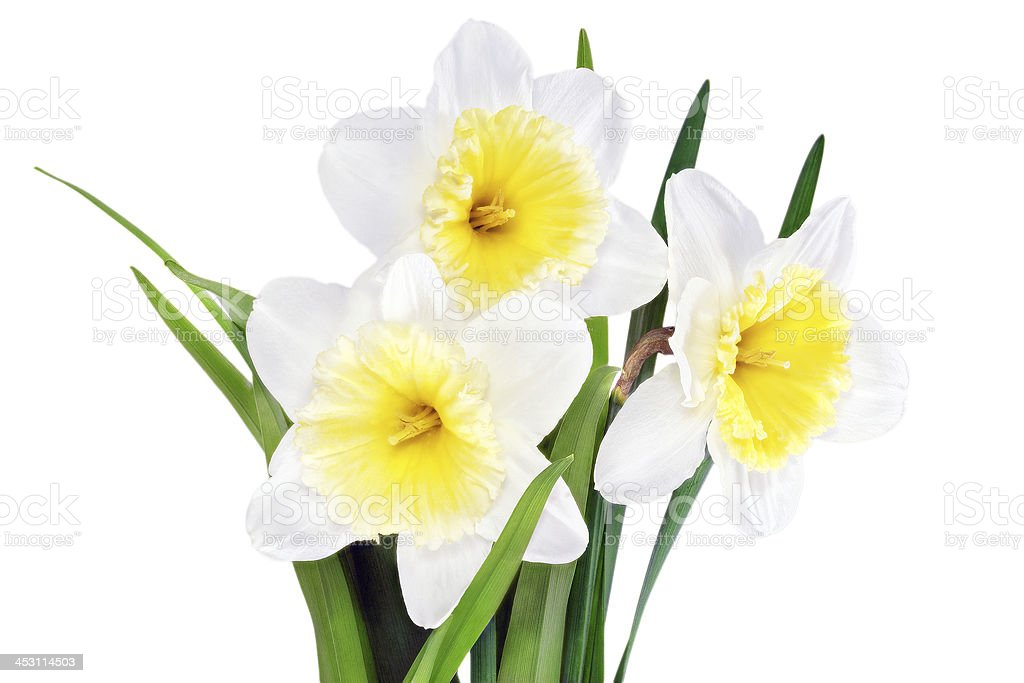 Beautiful spring  three flowers : yellow-white narcissus (Daffod royalty-free stock photo