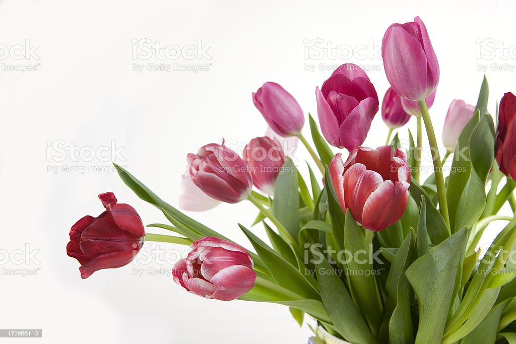 Beautiful Spring Tulips Border on White, Copy Space royalty-free stock photo