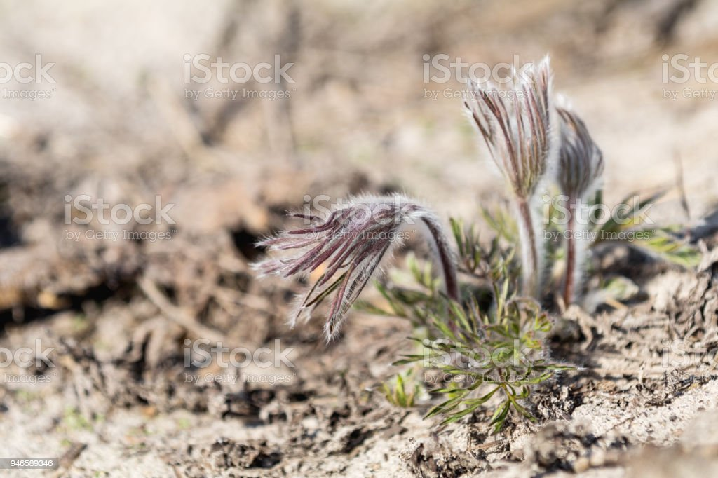 Beautiful spring violet flowers background. Eastern pasqueflower, prairie crocus, cutleaf anemone with water drops.Shallow depth of field. Toned. Copy space. royalty-free stock photo