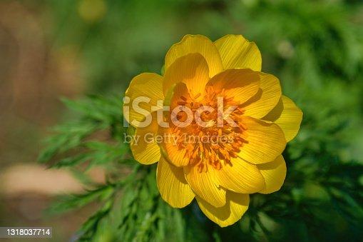 istock Beautiful spring yellow flowers Pheasant's eye. Latin name Adonis vernalis. 1318037714