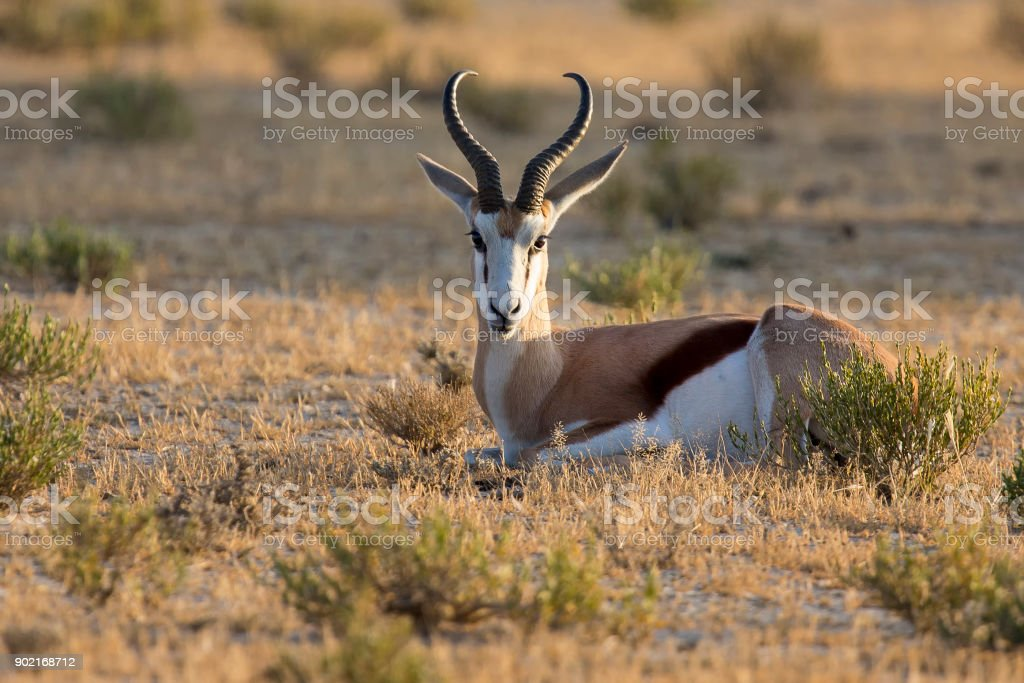 Beautiful springbok male lay down to rest in the early morning on short grass of a Kalahari plain stock photo