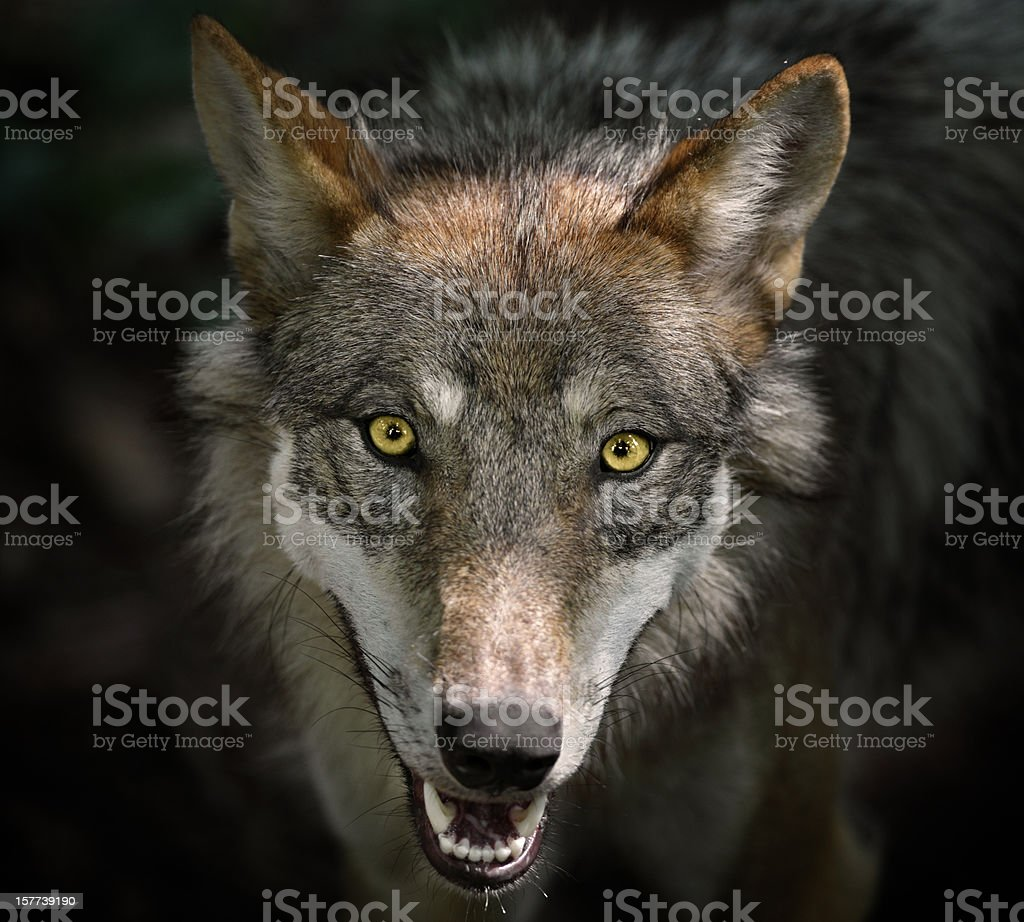 Beautiful Staring Gray Wolf stock photo