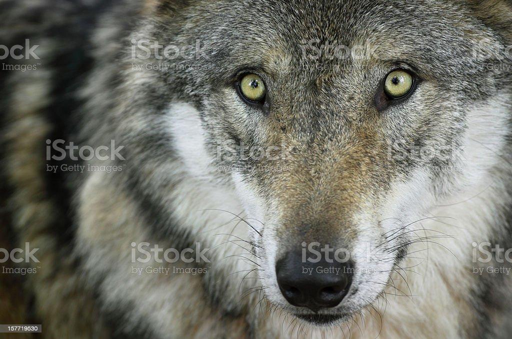 Beautiful Staring Wolf royalty-free stock photo