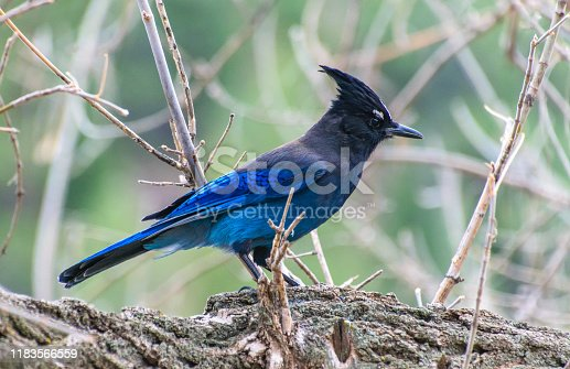 A Stellar's Jay Searching for Food
