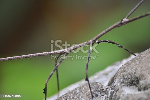Beautiful Stick Insect in Cambodia