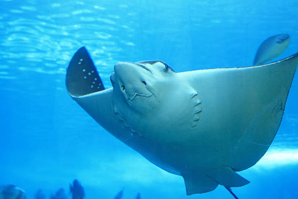 beautiful stingray beautiful stingrayModel: caiman stock pictures, royalty-free photos & images