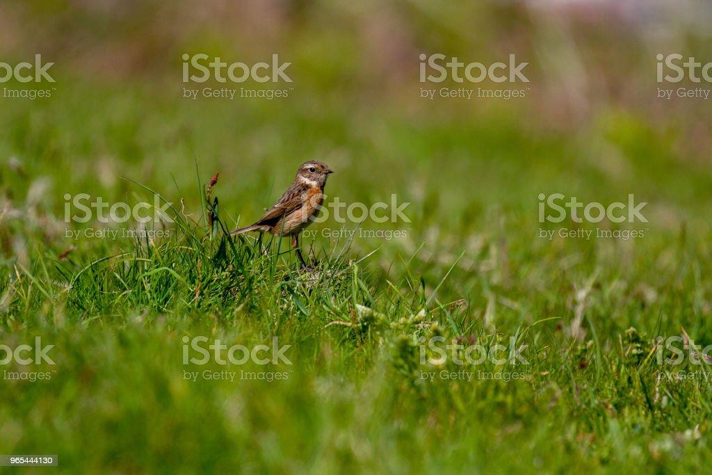 美麗的 Stonechat (黃連 rubicola) 在康沃爾的 Coastpath - 免版稅動物圖庫照片