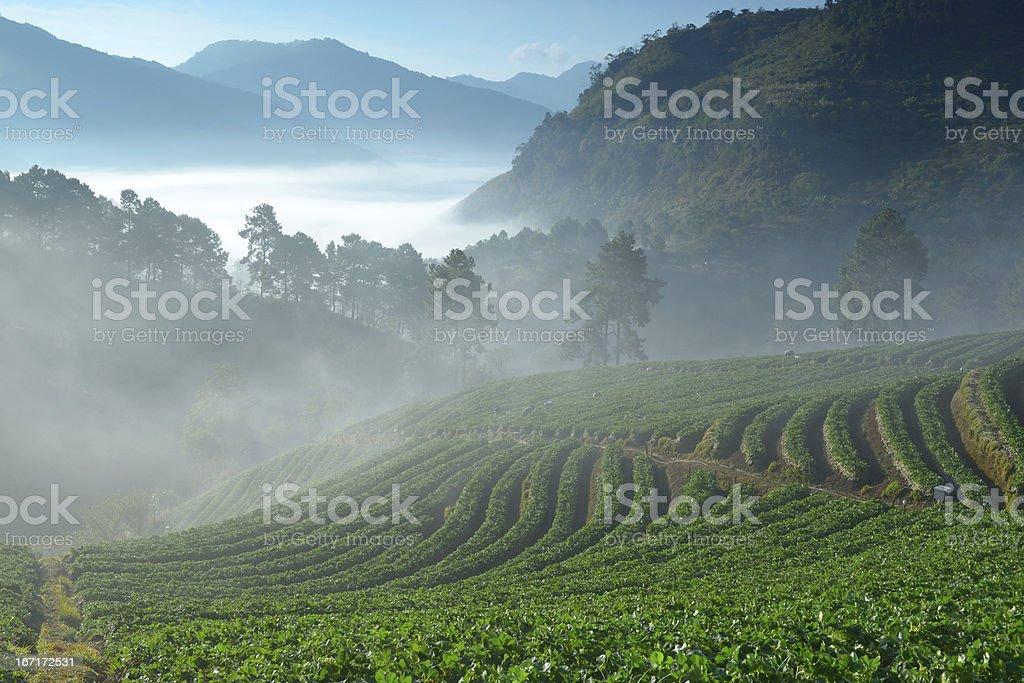 beautiful strawberry farm among mountain and fog royalty-free stock photo