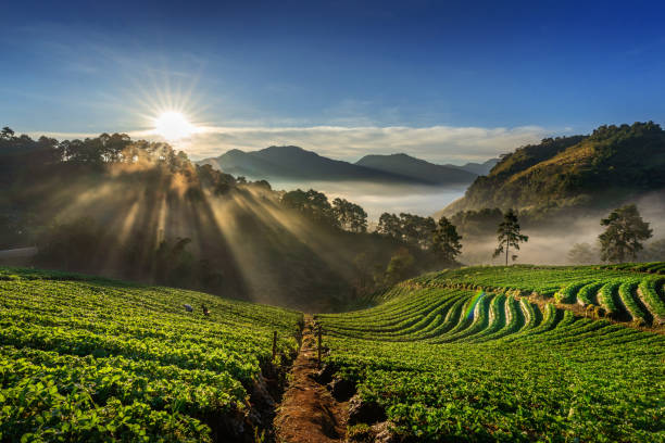 beautiful strawberry garden and sunrise on doi ang khang , chiang mai, thailand. - angola stock photos and pictures