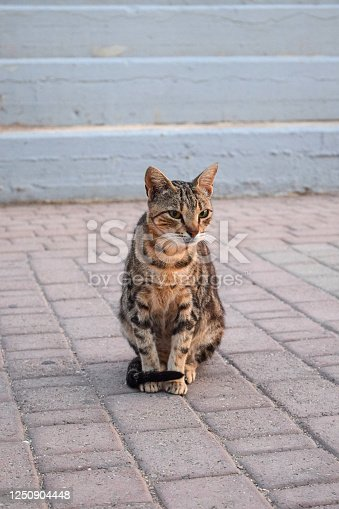 Beautiful striped shorthair cat sits on the road in Greece