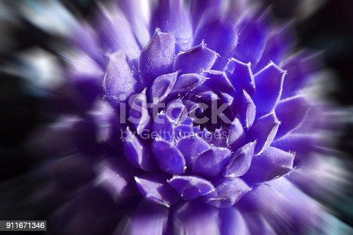 Beautiful Succulent (Green Wheel) In Dark Purple With Zoom Burst High quality Stock Photo