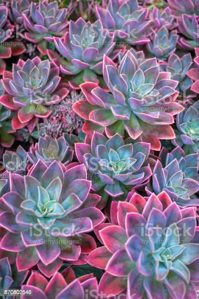 Insérer une image en indiquant une seule dimension pour réduire sa taille Beautiful-succulent-plants-echeveria-succulents-picture-id870802546?s=612x612