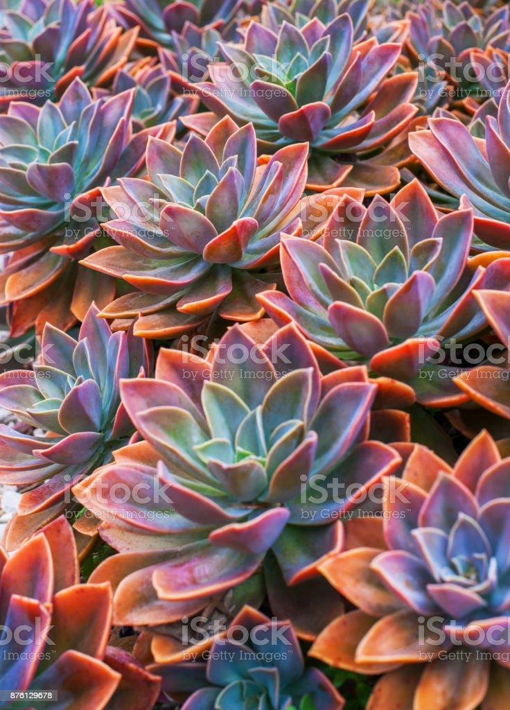 Beautiful succulent plants, echeveria succulents stock photo