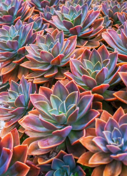 beautiful succulent plants, echeveria succulents - juicy stock photos and pictures