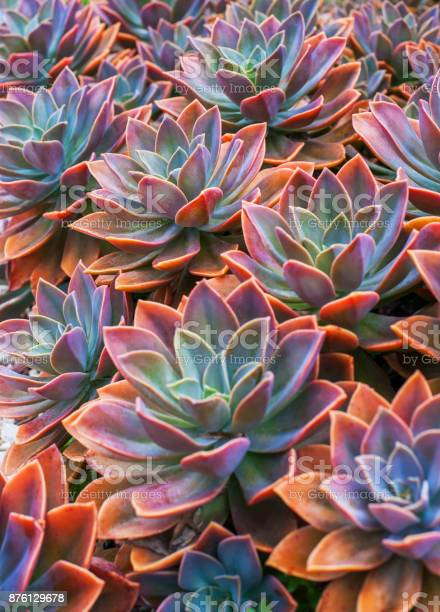 Beautiful succulent plants, echeveria succulents arranged on the ground
