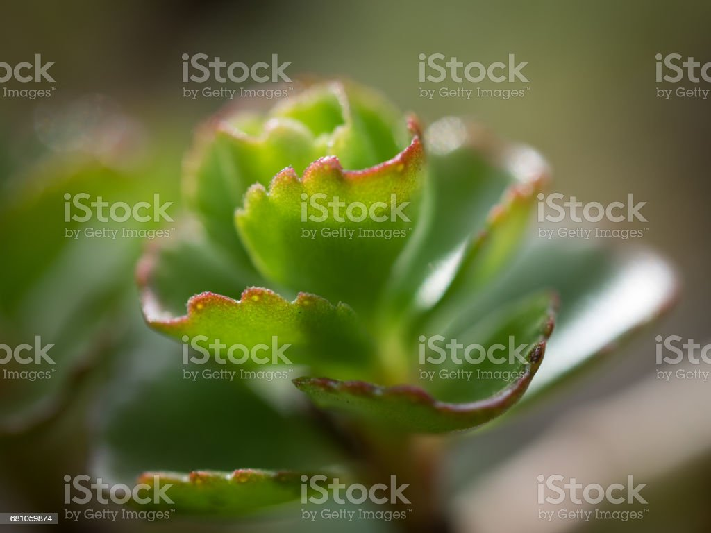 Beautiful Succulent plants in the spring. Macro royalty-free stock photo