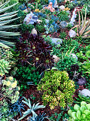 This is a close up photo of a variety of colorful succulent plants together on the lawn