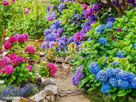 A pretty, lush ornamental garden, filled with healthy plants and bright, colorful hydrangea blossoms in multiple colors.