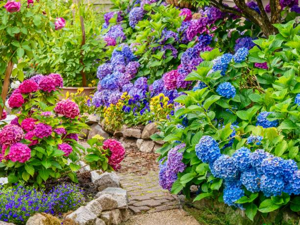 A beautiful summer garden, featuring a spectacular display of vibrant blue, pink and purple hydrangea flowers. A pretty, lush ornamental garden, filled with healthy plants and bright, colorful hydrangea blossoms in multiple colors. lawn stock pictures, royalty-free photos & images