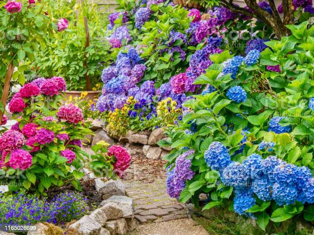 Photo of A beautiful summer garden, featuring a spectacular display of vibrant blue, pink and purple hydrangea flowers.