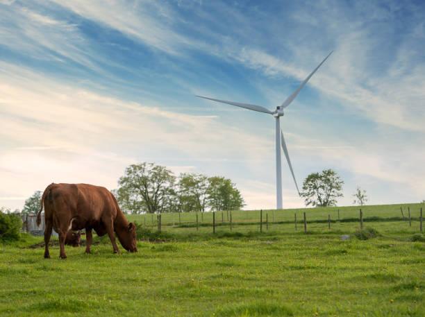 Vackert sommar landskap med ko och vindkraftverk bildbanksfoto