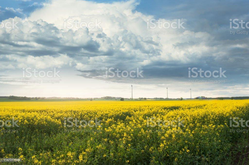 Vackert sommar landskap med rapsolja - Royaltyfri Blomma Bildbanksbilder