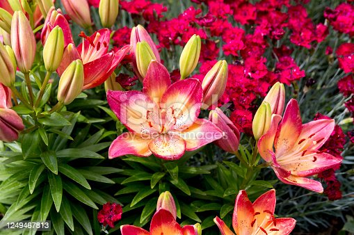 These pink and yellow lillies are growing in a residential frontyard.