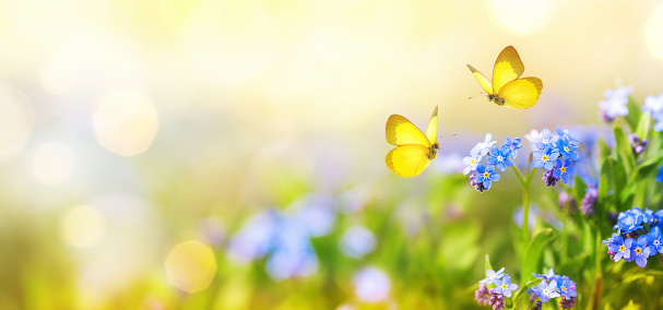 Beautiful summer or spring meadow with blue forget-me-nots flowers and two flying butterflies. Wild nature landscape banner.