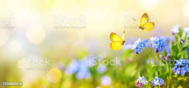 Photo of Beautiful summer or spring meadow with blue forget-me-nots flowers and two flying butterflies. Wild nature landscape.