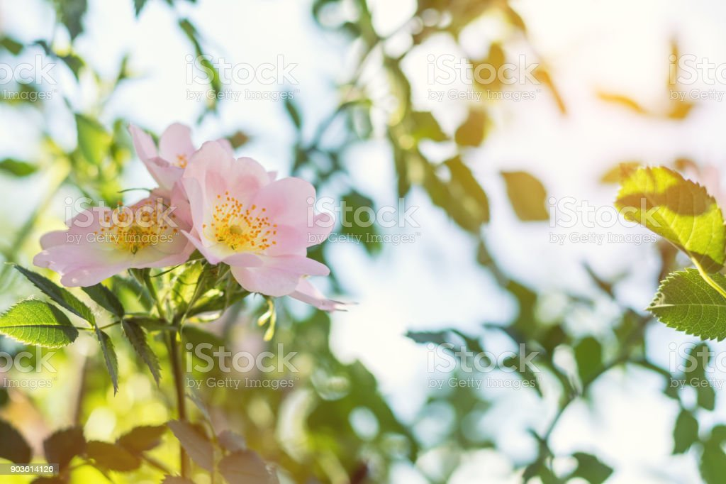 Beautiful summer scene with dog-rose flowers on blue sky background. Toned photo. Shallow depth of the field. royalty-free stock photo