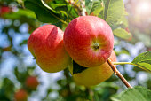 Beautiful summer sunny landscape with a picture of ripe apples on a tree branch in the garden ready for harvesting, sunny lights and rays.
