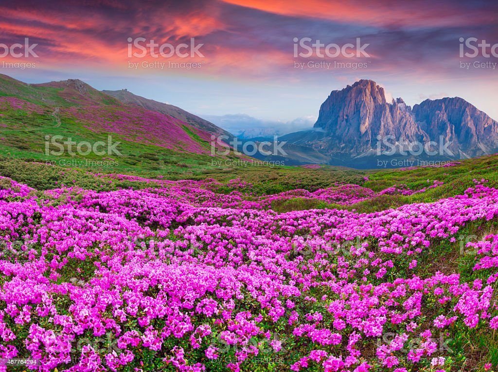Beautiful summer sunrise over mountains and purple flowers stock photo
