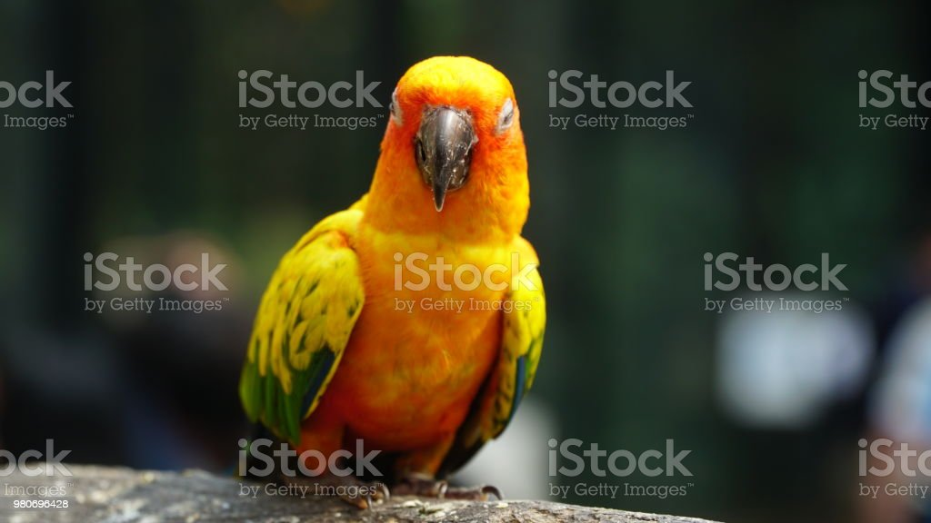 Schöne Sonne Conure Papagei – Foto