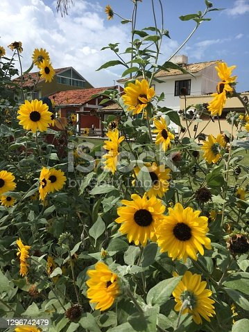 istock Beautiful sun flowers In the Back garden of the houses on a sunny summer day 1296742479