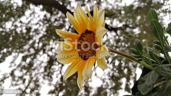 beautiful sunflower blooming close up background