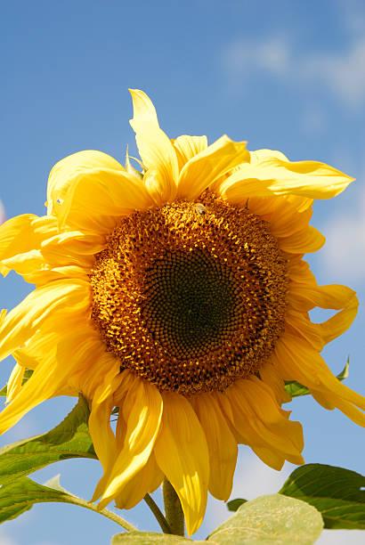beautiful sunflower close up stock photo