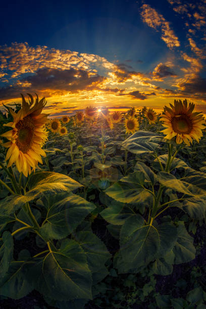 Beautiful sunflower field at sunset shot with fish eye lens againt a dramatic sky with clouds and a setting sun stock photo