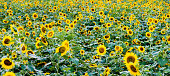 Beautiful sunflower field background