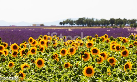 Beautiful sunflower field in Provence France