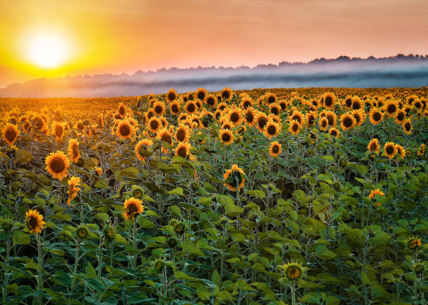 beautiful sunflower field on sunset stock photo