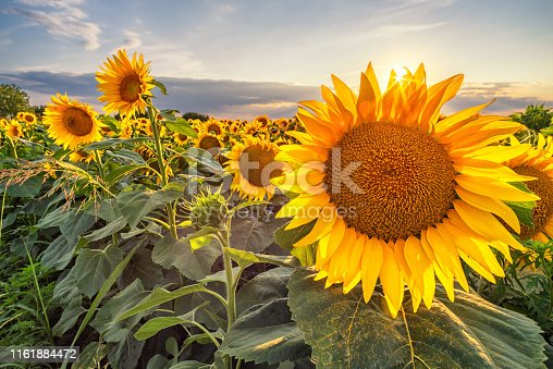Beautiful sunflower field panorama in sunset in summer