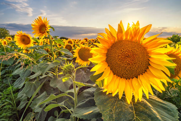 beautiful sunflower field panorama in sunset in summer - sunflower стоковые фото и изображения