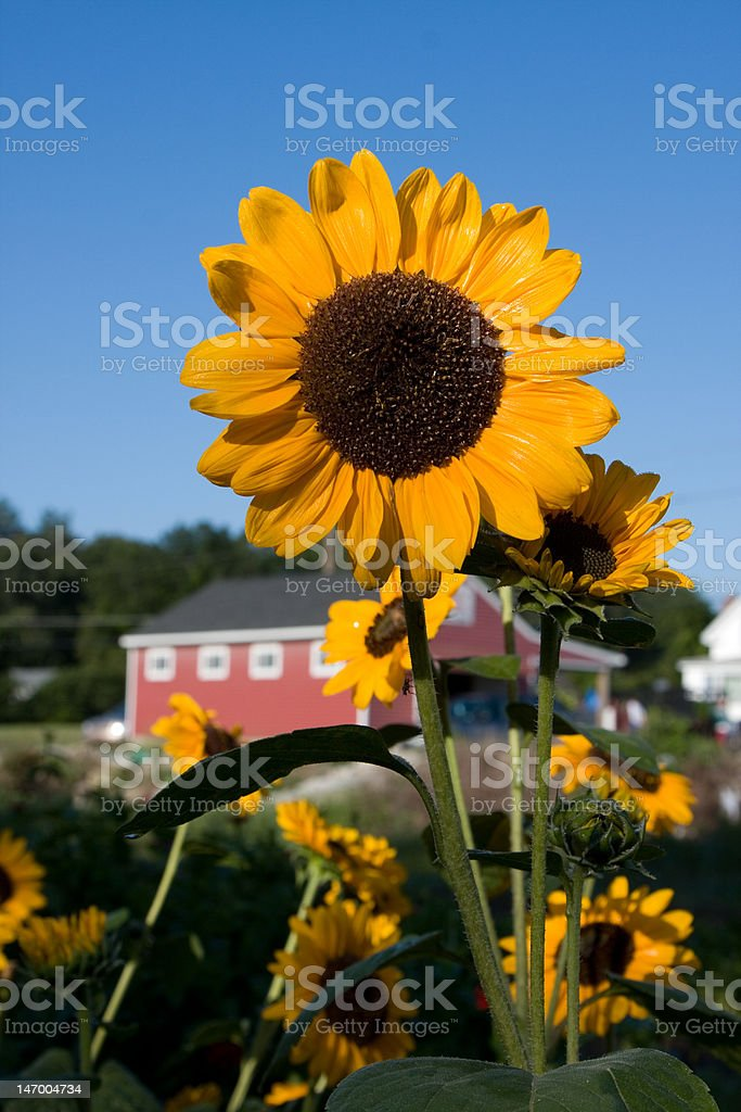 Beautiful Sunflower Field with Detail stock photo
