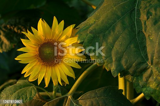 istock Beautiful sunflower head and its stem with leaves, at sunset. 1267810901