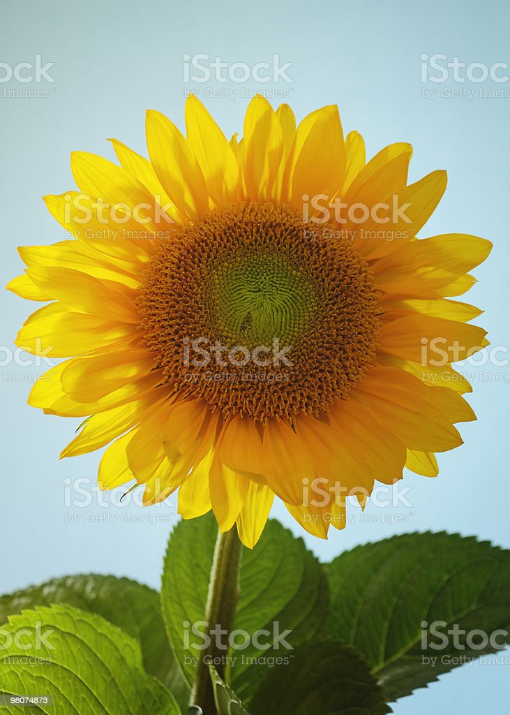 Beautiful sunflower in clear blue sky royalty-free stock photo