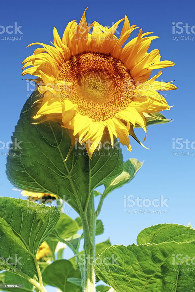 Beautiful sunflower in the summer field royalty-free stock photo