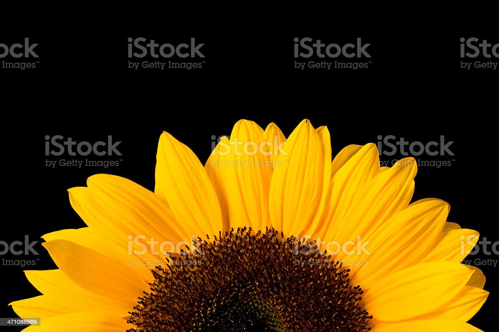 Beautiful sunflower isolated on black royalty-free stock photo