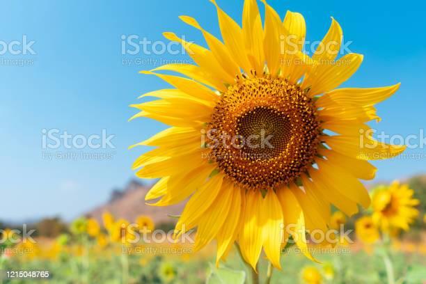 Photo of Beautiful sunflower on blue sky background.