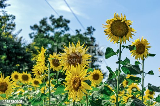 Beautiful sunflower on the field where foreground and background flowers are defocused